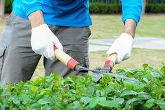 Gardener cutting hedge with grass shears Royalty Free Stock Photography