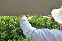 Gardener cutting hedge with grass shears Stock Photos