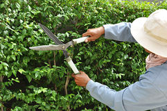 Gardener cutting hedge with grass shears Stock Images