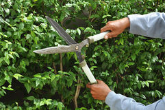 Gardener cutting hedge with grass shears Stock Photo
