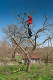 Gardener cutting tree with clippers. In spring Royalty Free Stock Images
