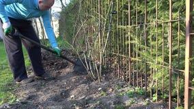 Gardener dig flower bed soil ground near rose stems. 4K stock video