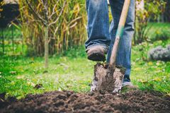 Gardener digging in a garden with a spade. Man using a big shovel for digging old lawn royalty free stock photos