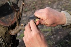 Gardener does grafting of fruit tree and cuts branch. Closeup. Gardener does grafting of fruit tree and cuts branch by knife. Closeup Royalty Free Stock Images