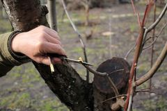 Gardener does grafting of fruit tree and splits branch by knife. Closeup. Gardener does grafting of fruit tree and splits branch by knife to sow insert grafter Stock Photo