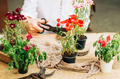 Gardener doing gardening work at a table rustic. Working in the garden, close up of the hands of a woman cares flowerscarnations. Stock Images