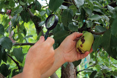 Gardener examines pear fruits with magnifying glass in search of. Pests and diseases. On fruit there are fungal rot and damages of pear moth. Close up Stock Images