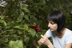 Gardener Examining Leaves In Greenhouse Royalty Free Stock Photo