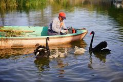 Gardener and Family of black swan on lake royalty free stock photo