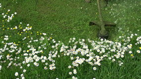 Gardener farmer cutting grass with english daisies with lawn moving trimmer stock video footage