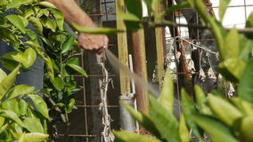 Gardener - Farmer is irrigating the soil / harvest / horticulture / agriculture. Gardener / Farmer irrigates stock footage