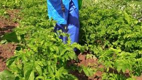 Gardener fertilize potato plants in garden Royalty Free Stock Image