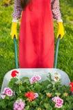 Gardener with  flowers in wheelbarrow Royalty Free Stock Image