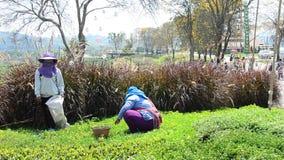 Gardener gardening at the garden in Chiangrai, Thailand stock video