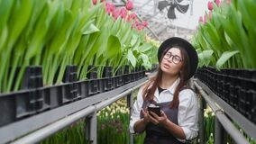 Florist in greenhouse stands along rows tulips makes calculations on smartphone.