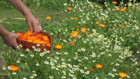 Gardener girl gather marigold herb blooms to heart shape dish. 4K stock footage
