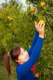 Gardener girl in orange garden, north of  Thailand Stock Photo