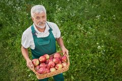 Gardener in green overalls looking up and holding basket with apples. View from above of gardener holding basket full of fresh red apples and standing on green stock photo