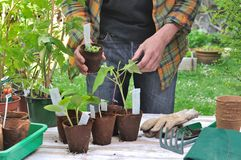 Gardener with growing pot Royalty Free Stock Images