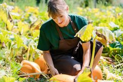 Gardener growing pumpkins. On a field stock images