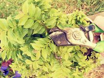 Gardener hand cut branch on bonsai hornbeam. Cleaning treetop royalty free stock image