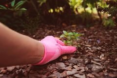 Gardener hand in pink glove removing weeds Stock Image