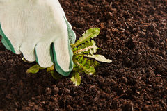 Gardener hand pulling up broad leaf weed Royalty Free Stock Photos