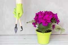 Gardener hand in rubber gloves holding garden instrument, next standing flower pot. Gardening, planting and people concept stock photography