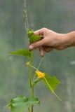 Gardener hand tied up cucumber Stock Photo
