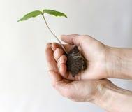 Gardener hands with Сobaea scandens Royalty Free Stock Photo