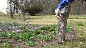 Gardener hands caring for apple fruit tree, tree bark whitewash. Static shot stock footage