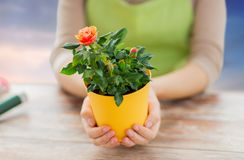 Gardener hands holding flower pot with rose. Gardening, planting and people concept - close up of female gardener hands holding flower pot with rose over sky Stock Photo
