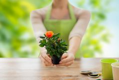 Gardener hands holding flower pot with rose. Gardening, planting and people concept - close up of female gardener hands holding flower pot with rose over green Stock Photography