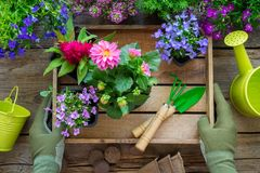Gardener hands holds a wooden tray with several flower pots. Garden equipment: watering can, shovel, rake, gloves. royalty free stock photo