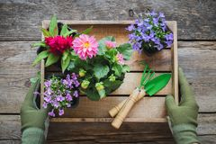 Gardener hands holds a wooden tray of several flower pots and shovel, rake. Top view stock photography