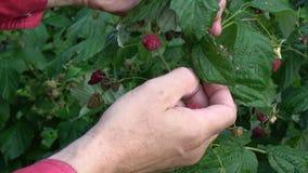 Gardener picking harvesting fresh raspberries stock video