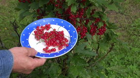 Gardener hands picking ripe redcurrant in ceramic plate Royalty Free Stock Photos