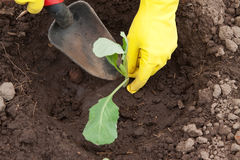Gardener hands planting cabbage. Seedling in ground Royalty Free Stock Photo