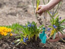 Gardener hands planting flowers Stock Images
