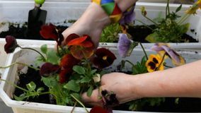 Gardener hands planting  pansies or Viola tricolor in flower pot with dirt or soil. stock video footage