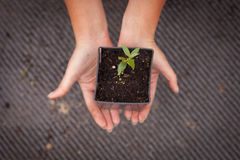 Gardener hands in a pot with the germ Stock Photography