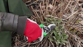 Gardener hands with scissors close up. Gardening concept stock footage video stock video footage