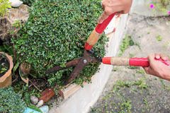 Gardener hands trimming plant in the garden. Royalty Free Stock Photography