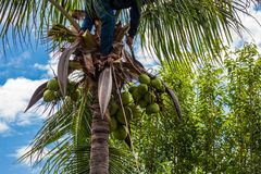 A gardener harvest coconut fruit Royalty Free Stock Image