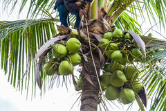 A gardener harvest coconut fruit Stock Photography