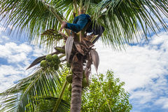 A gardener harvest coconut fruit Royalty Free Stock Photography