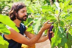 Gardener harvesting an eggplan. Handsome gardener harvesting an eggplan stock image