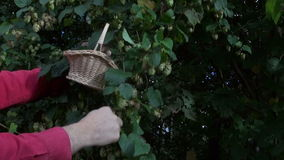 Gardener harvesting fresh hop cones in garden stock video