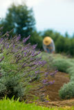 Gardener Harvesting Lavender Royalty Free Stock Photography