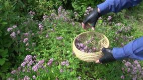Gardener harvesting wild marjoram oregano medical flowers stock footage